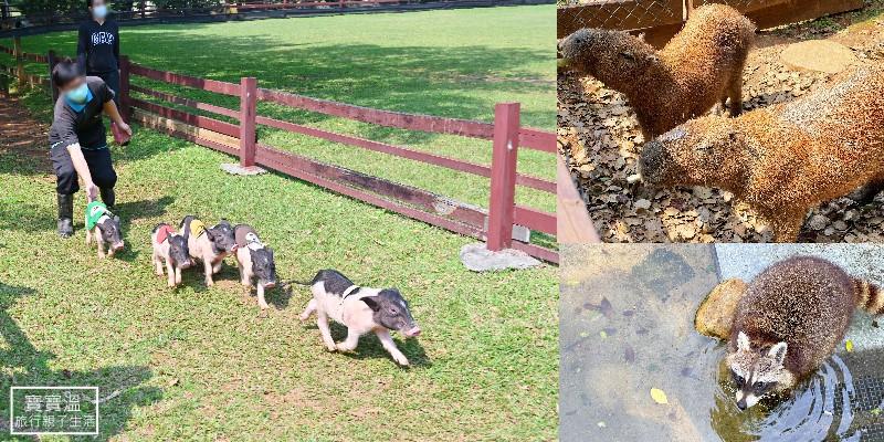 桃園埔心牧場》桃園親子景點看動物樂園,有水豚,羊駝,梅花鹿,浣熊,還有超萌的小豬小羊路跑賽