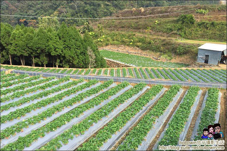 IMG_4279.JPG - 苗栗馬拉邦山採草莓