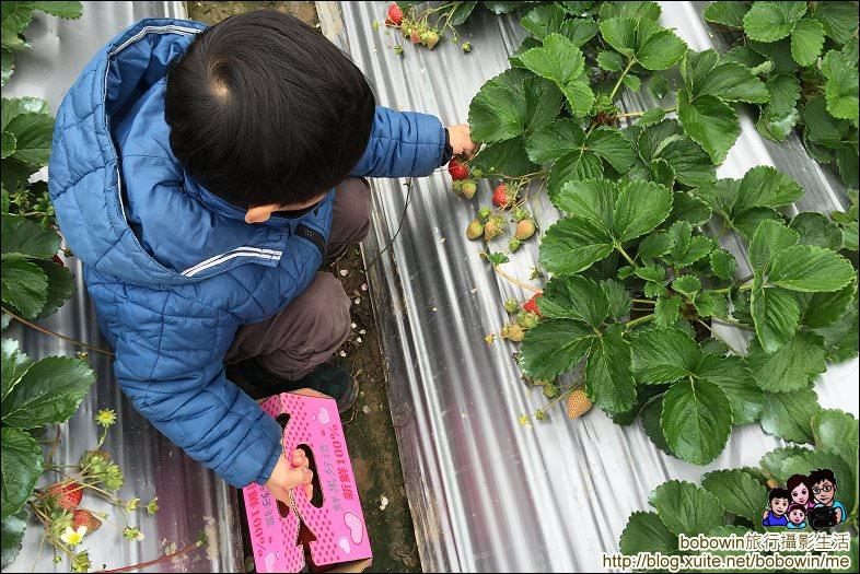 IMG_4238.JPG - 苗栗馬拉邦山採草莓