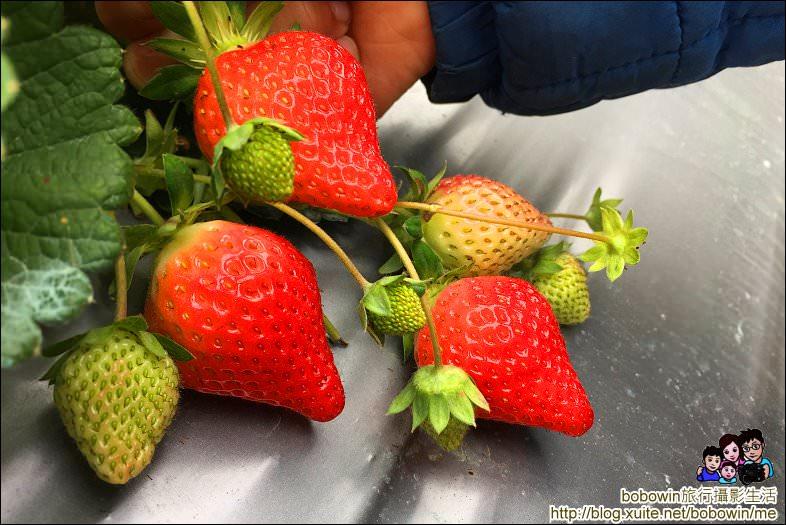 IMG_4241.JPG - 苗栗馬拉邦山採草莓