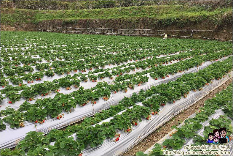 IMG_4227.JPG - 苗栗馬拉邦山採草莓