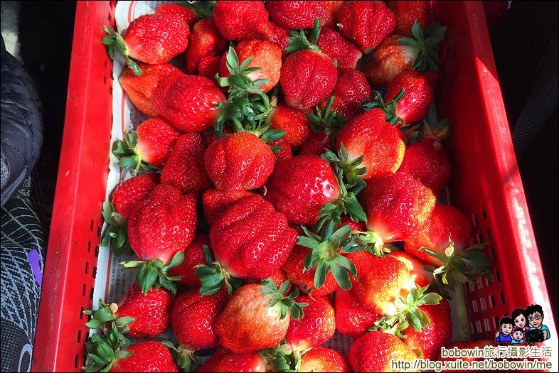 IMG_5889.JPG - 苗栗馬拉邦山採草莓