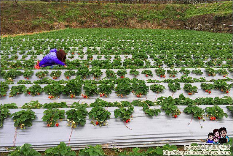 IMG_4234.JPG - 苗栗馬拉邦山採草莓